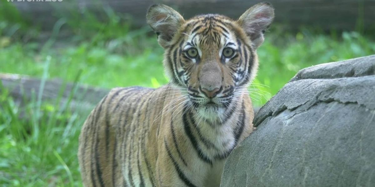 Coronavirus: Tiger at Bronx Zoo Is First Animal in U.S. to Test Positive