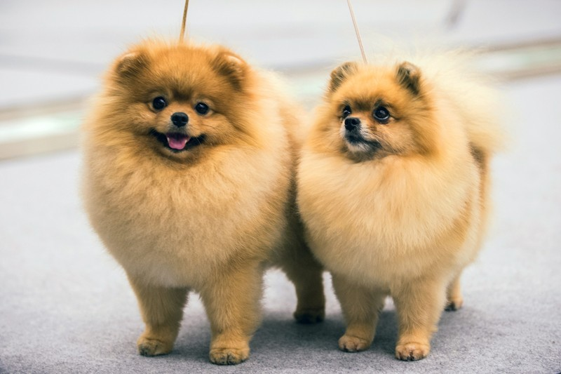 Dogs caught coronavirus from their owners, genetic analysis suggests